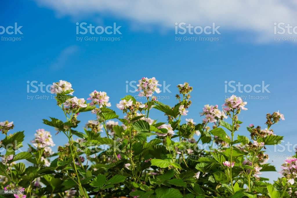 strawberries flowers royalty-free stock photo