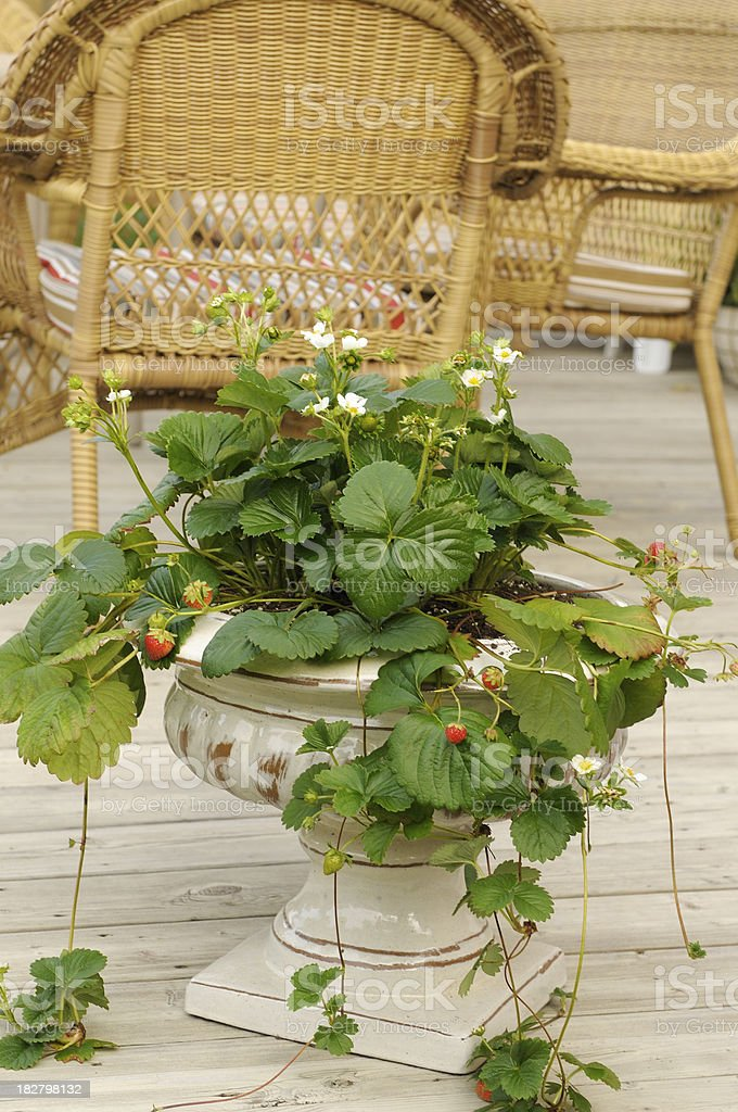 Strawberries growing in a ceramic flower pot on a patio stock photo