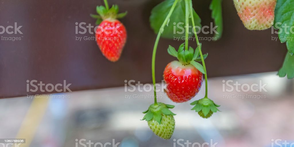 Strawberries growing in an Aquaponics farm i stock photo