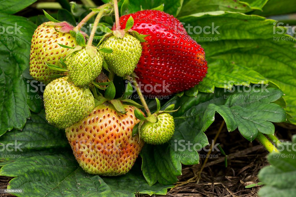 strawberries growing on the ground stock photo