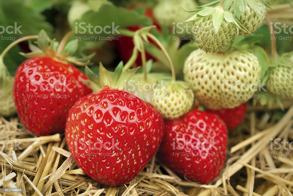 Strawberries growing royalty-free stock photo