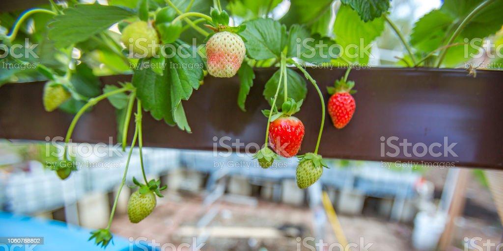 Strawberries grown through the Aquaponics method i stock photo