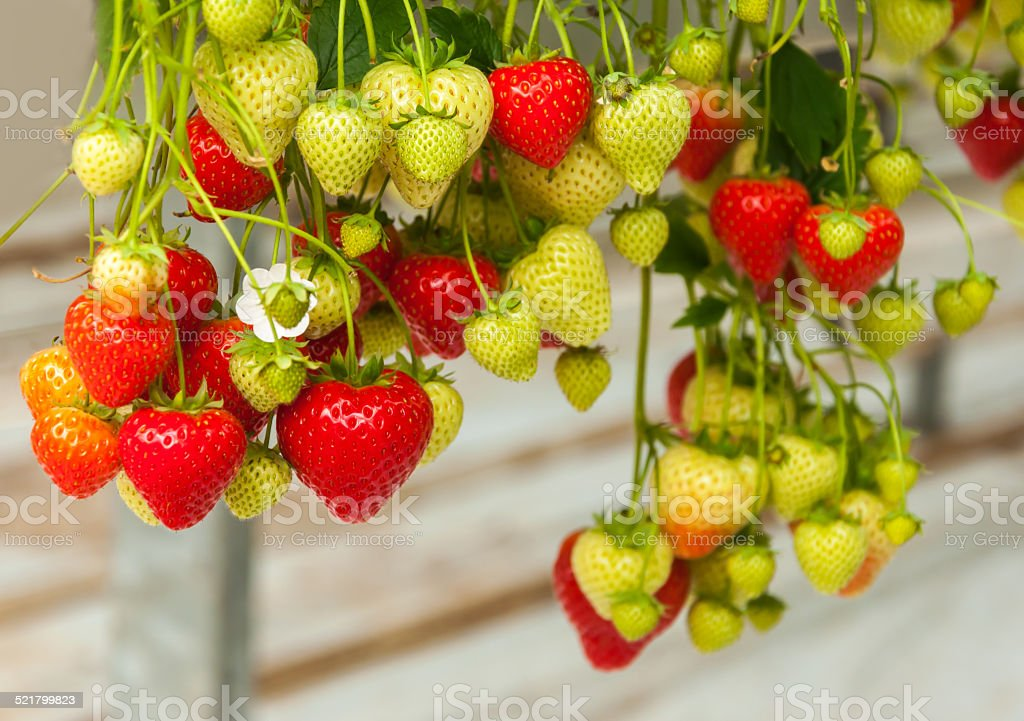 Strawberries hanging in a Dutch greenhouse stock photo
