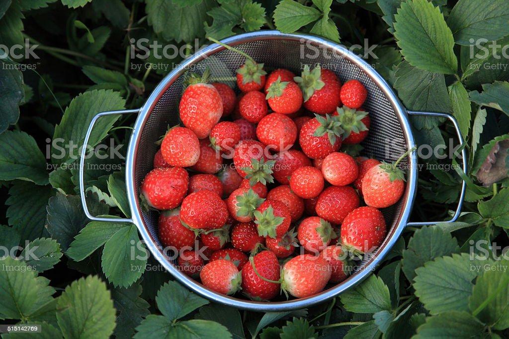 Strawberries in a garden. stock photo