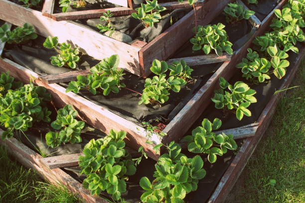 Strawberries in raised garden bed. Pyramid raised garden stock photo
