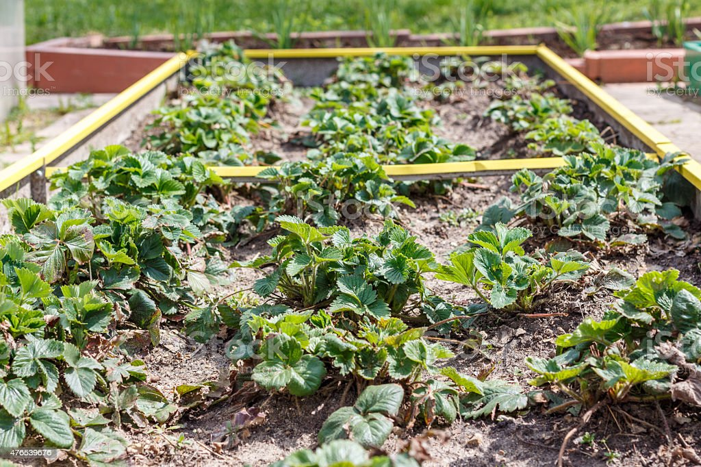 Strawberries in seedbed stock photo