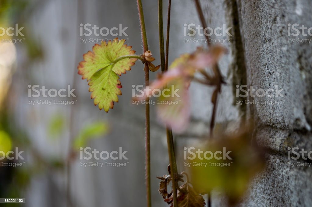 Strawberries leaves on the grey stone background stock photo