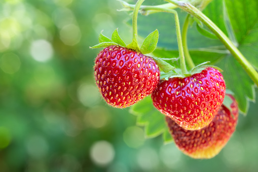 closeup ripe strawberries on the bush ready for harvest with green blurred garden as background