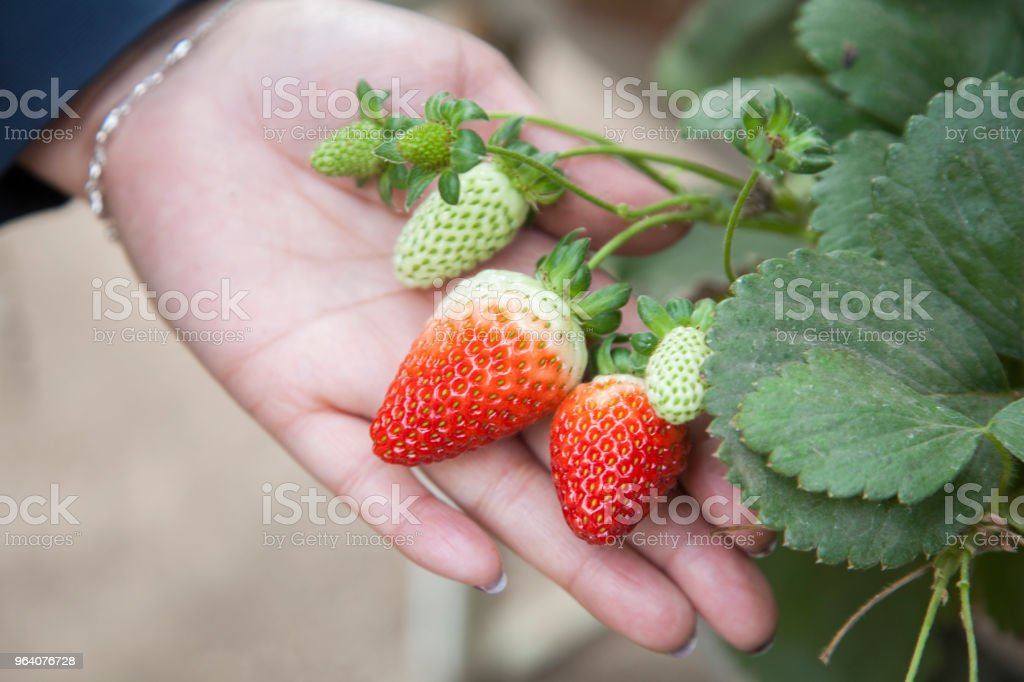 strawberries - Royalty-free Agriculture Stock Photo