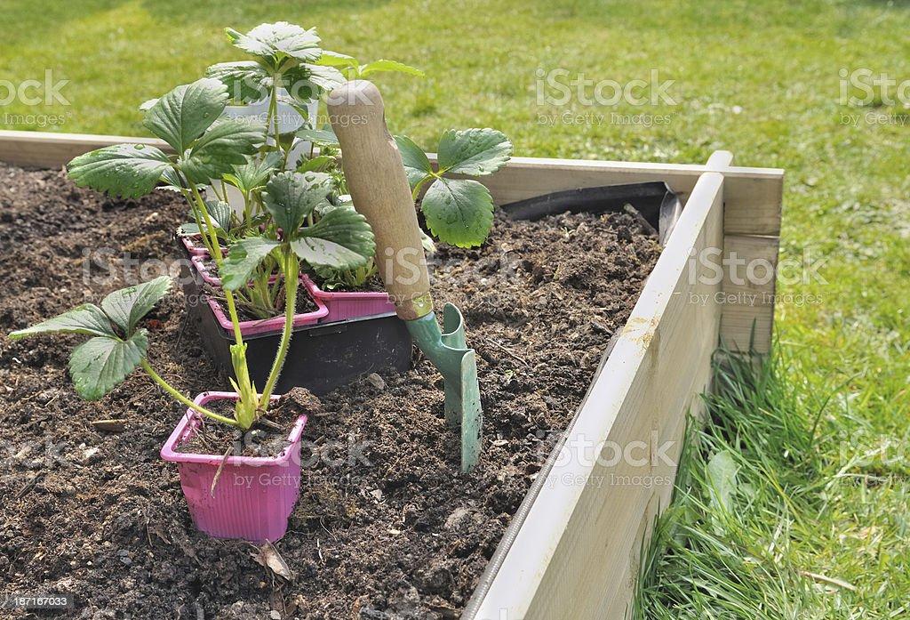 strawberries plants stock photo
