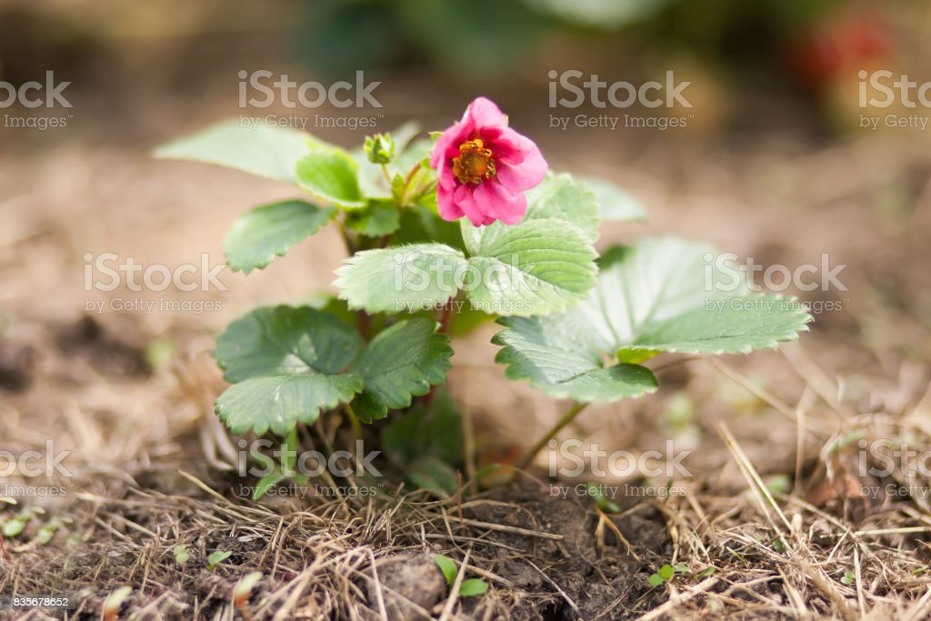 Strawberries rare heirloom with pink flowers stock photo more strawberries rare heirloom with pink flowers royalty free stock photo mightylinksfo