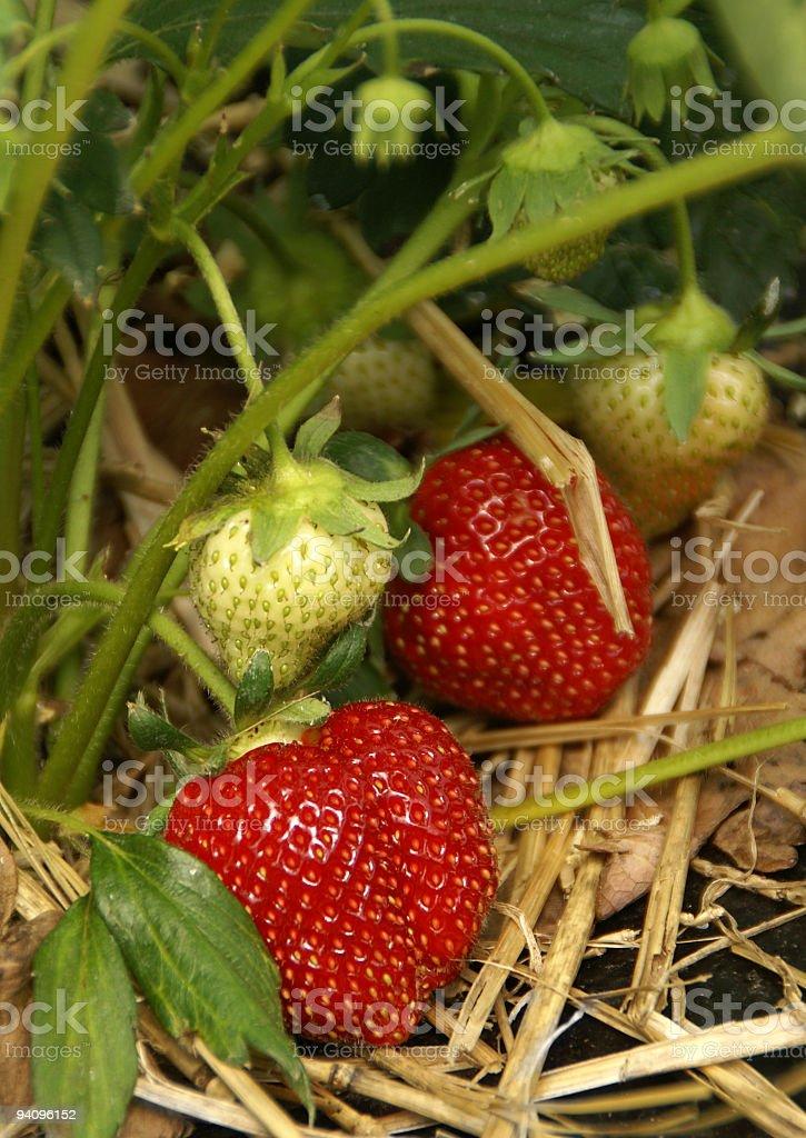 Strawberries to pick royalty-free stock photo