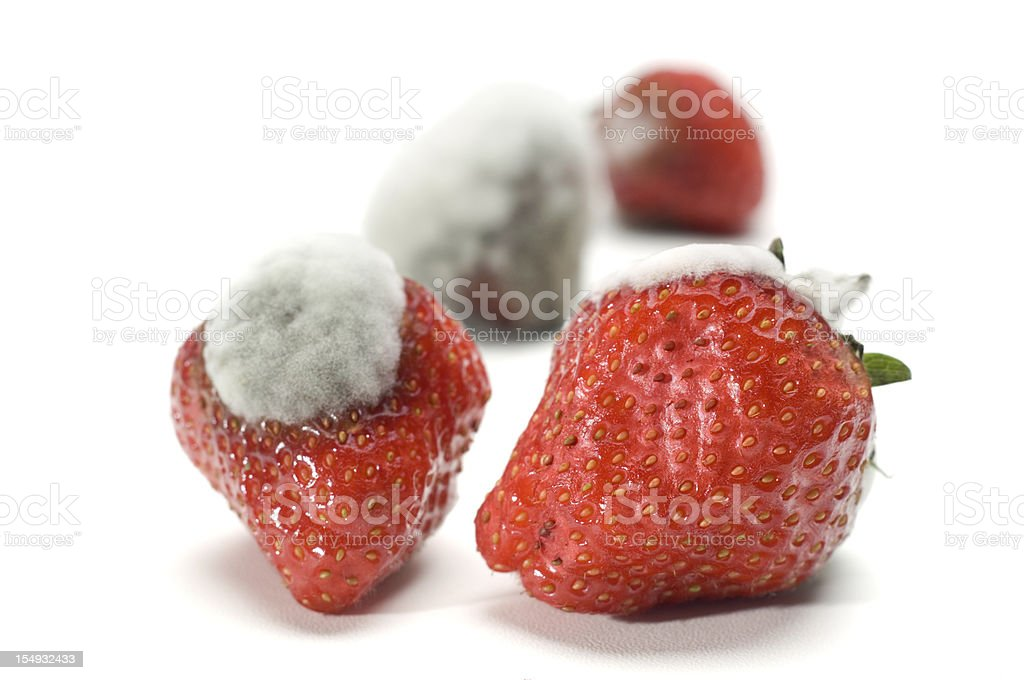 Strawberries with mould on white background royalty-free stock photo