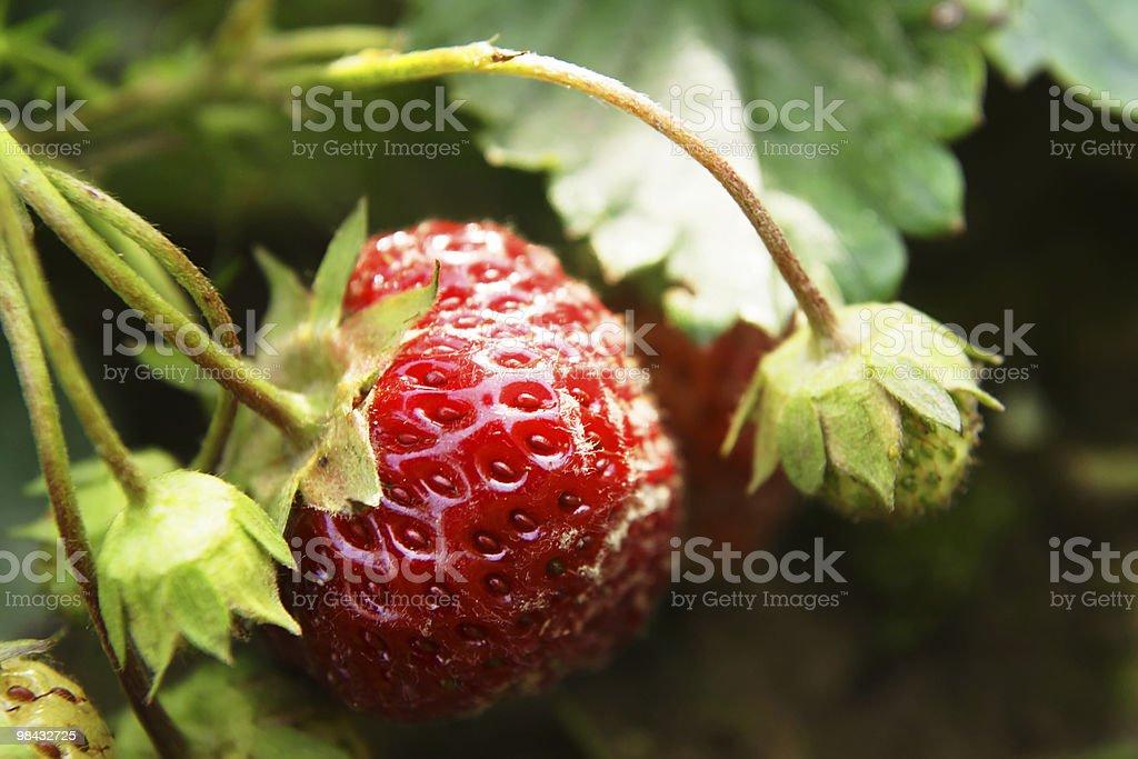 strawberry 4 royalty-free stock photo
