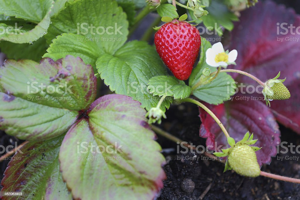 Strawberry and Flower stock photo