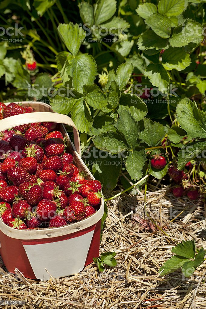 Strawberry Basket and Plants stock photo