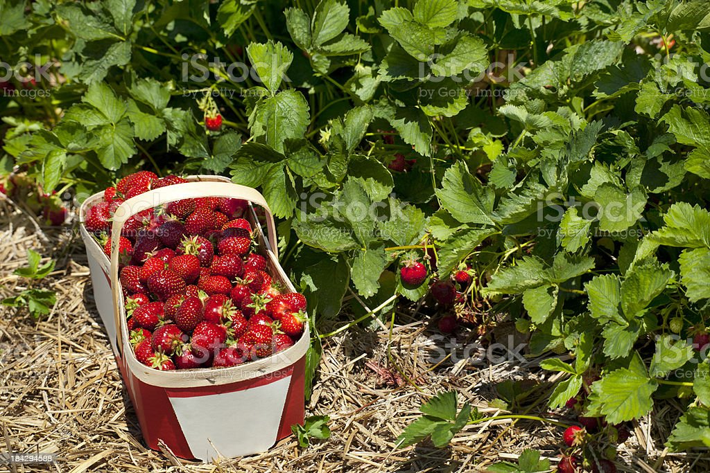 Strawberry Basket in Field stock photo