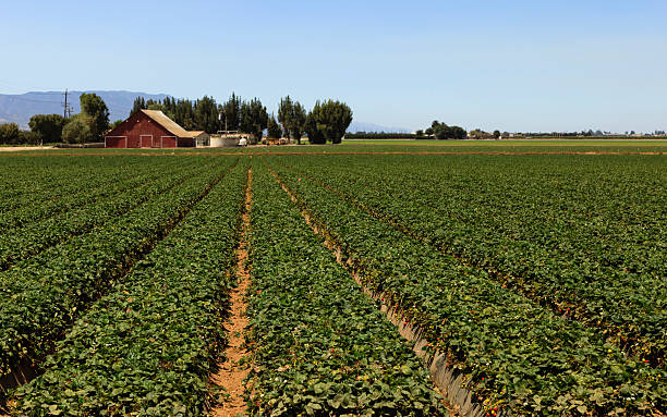 Strawberry Beds Farm fields of strawberry beds strawberry field stock pictures, royalty-free photos & images