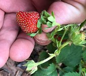 A super close up of a ripe red juicy strawberry being harvested