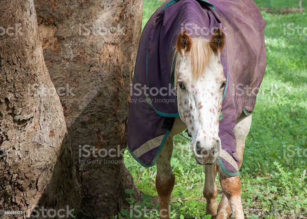 Strawberry Blond Horse in Purple Coat stock photo