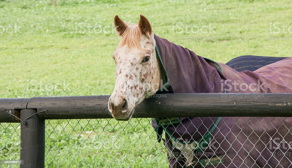 Strawberry Blond Horse stock photo