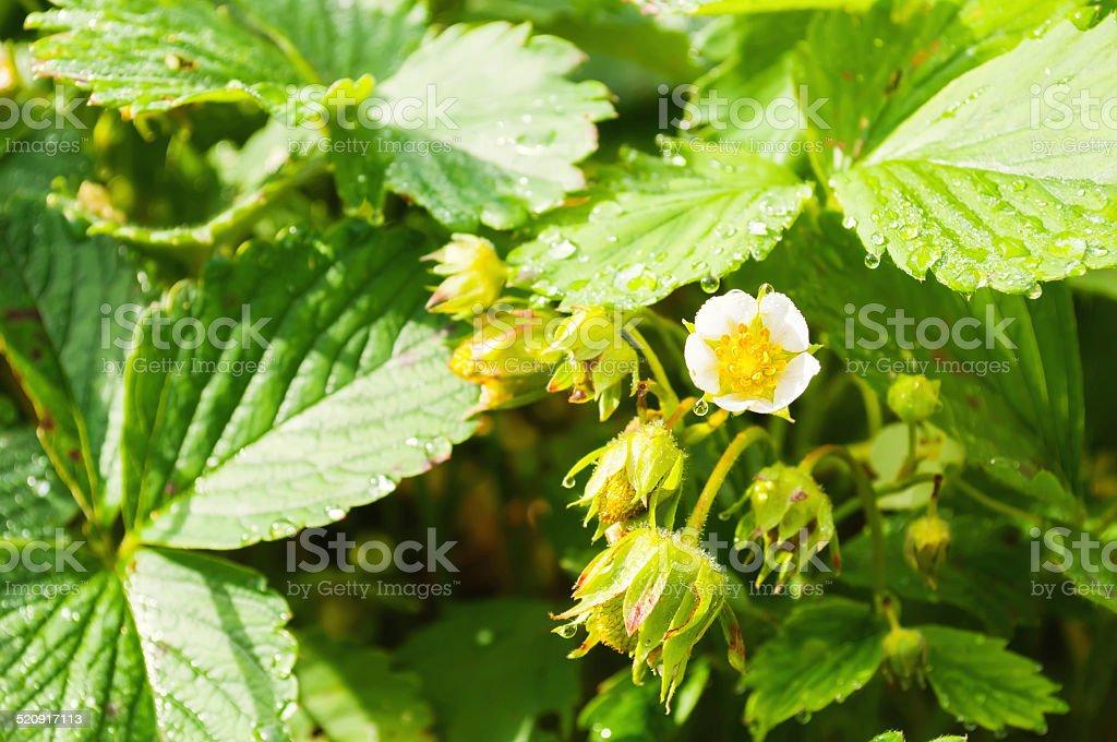 Клубничный Blossom. стоковое фото
