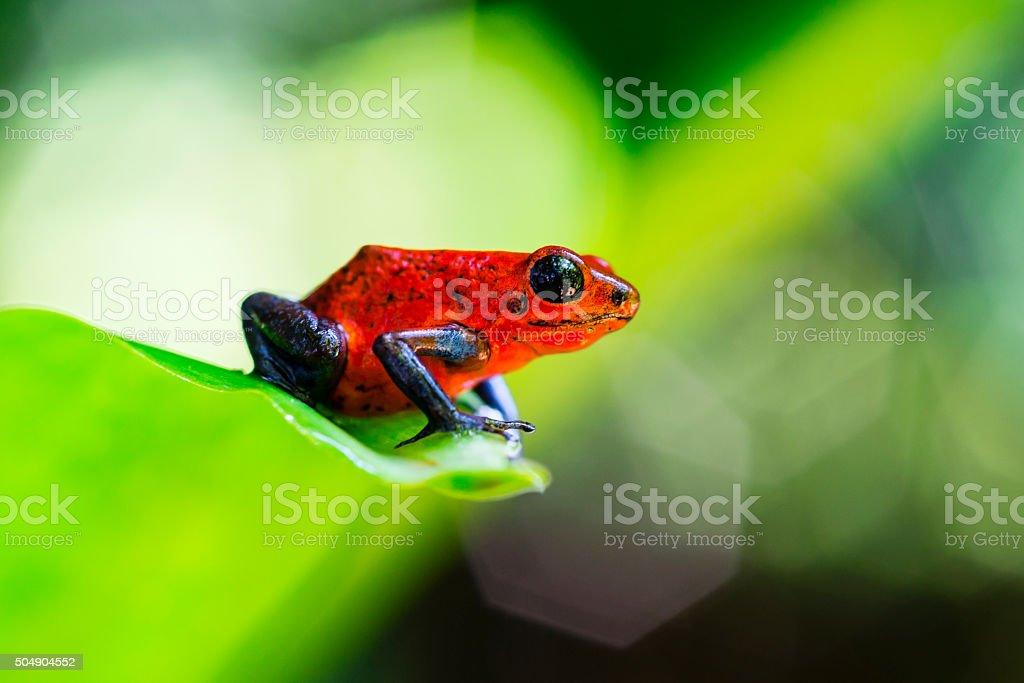 Strawberry Blue Jeans Poison Dart Frog, Costa Rica, oophaga pumilio stock photo