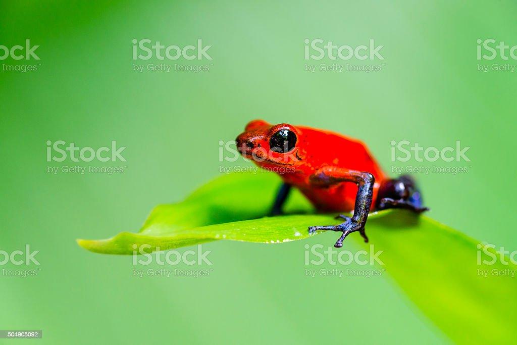 Strawberry Blue Jeans Poison Dart Frog, Costa Rica, oophaga pumilio Strawberry or Blue Jeans Poison Dart Frog on a leaf, Costa Rica, oophaga pumilio. Amphibian Stock Photo