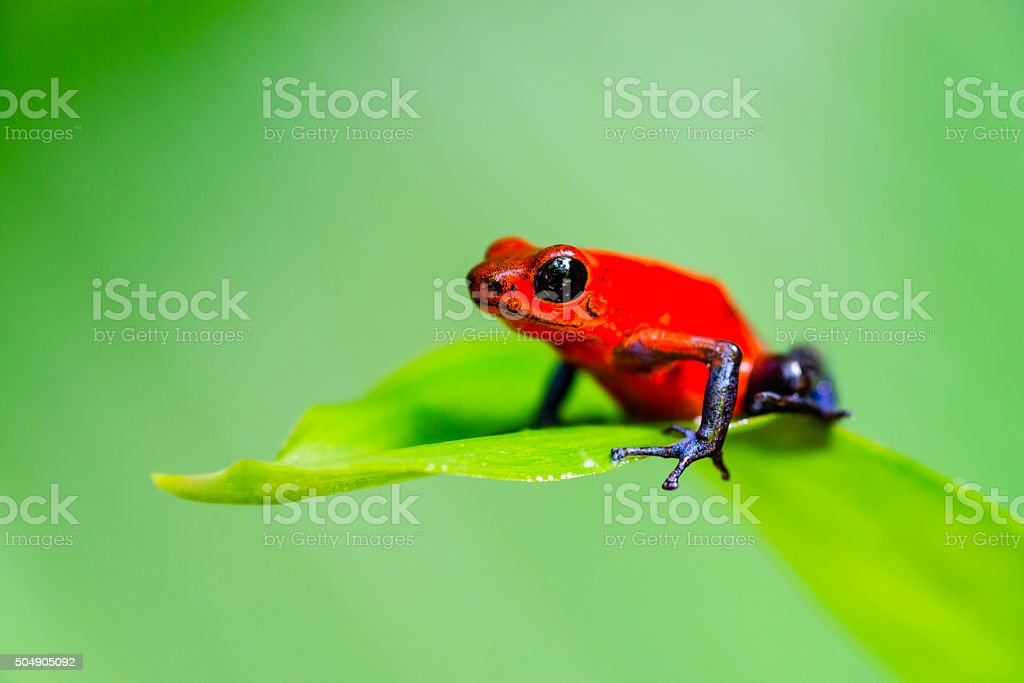 Strawberry Blue Jeans Poison Dart Frog, Costa Rica, oophaga pumilio stock photo