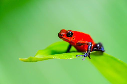 Strawberry Blue Jeans Poison Dart Frog Costa Rica Oophaga Pumilio Stock Photo - Download Image Now