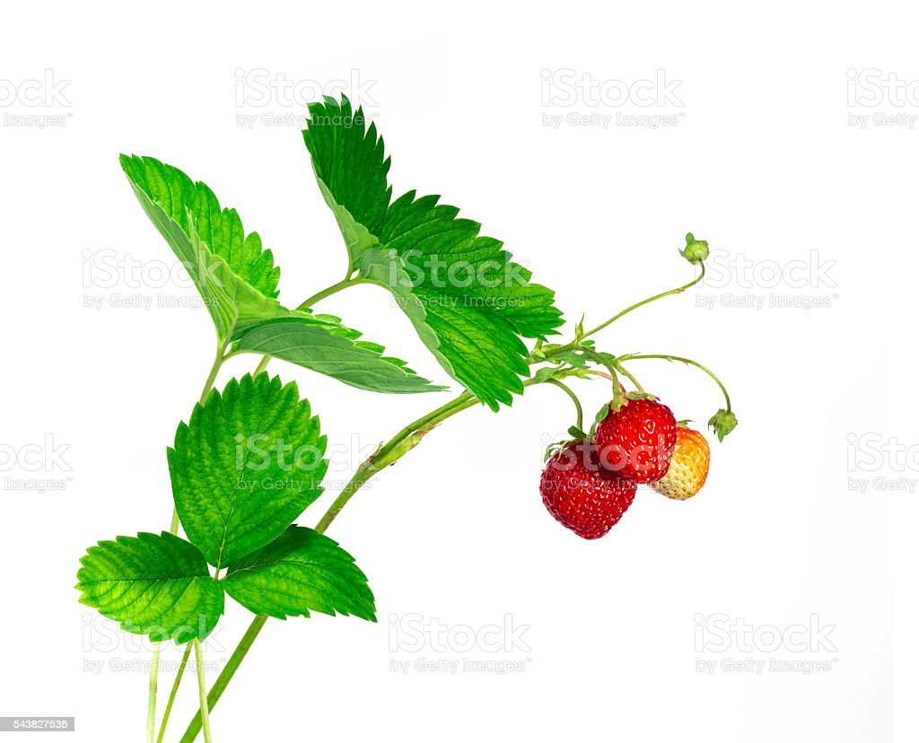 Strawberry branch stock photo