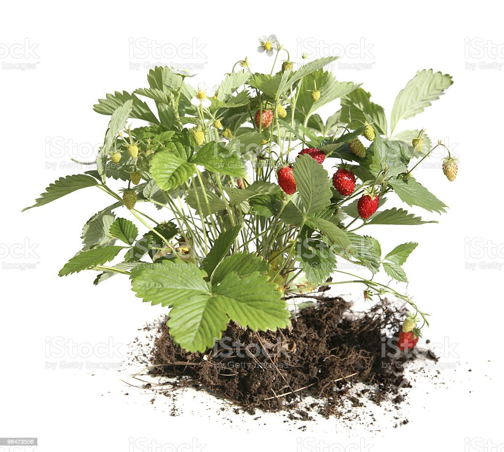 strawberry bush royalty-free stock photo