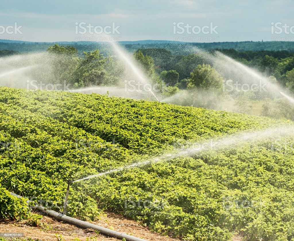 Strawberry Crop Watering stock photo