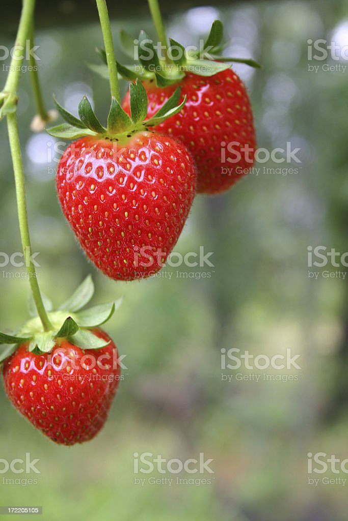 strawberry delight stock photo