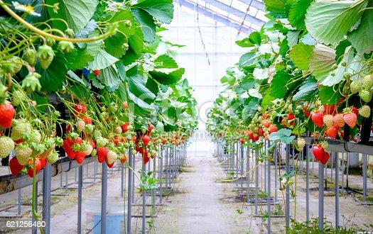 istock strawberry farm 621256480