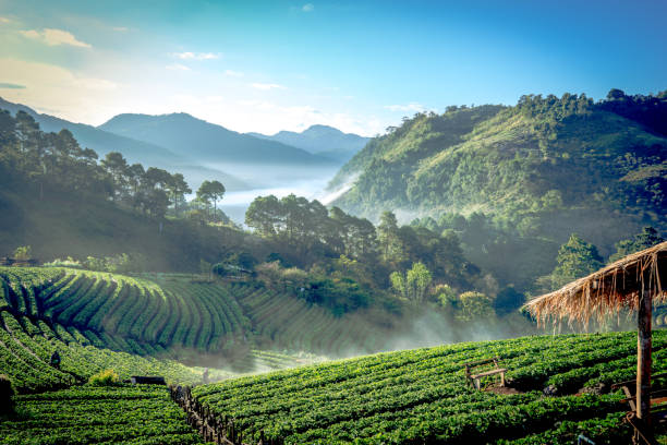 strawberry farm with morning blue sky background pattern and layer of strawberry farm with fog in forest background at northern Thailand chiang mai province stock pictures, royalty-free photos & images