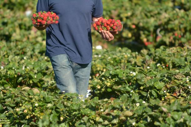 Strawberry Farmer stock photo