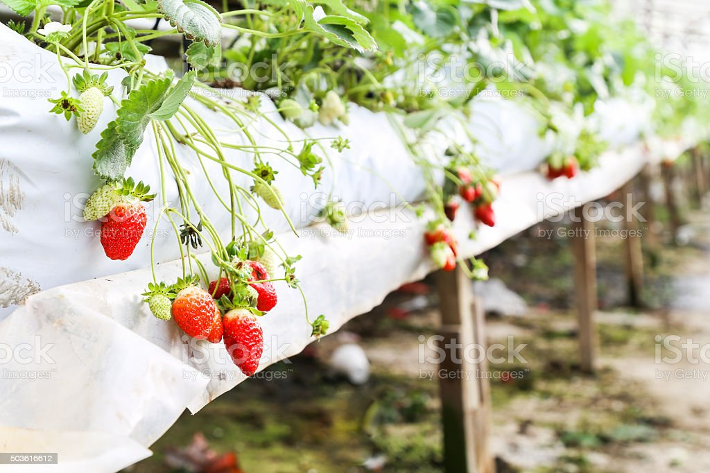 Strawberry farming in containers with canopy and water irrigatio stock photo