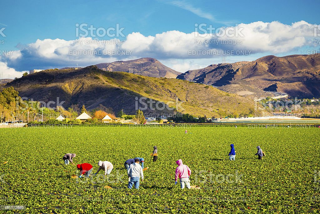 Strawberry Field Agriculture Workers stock photo