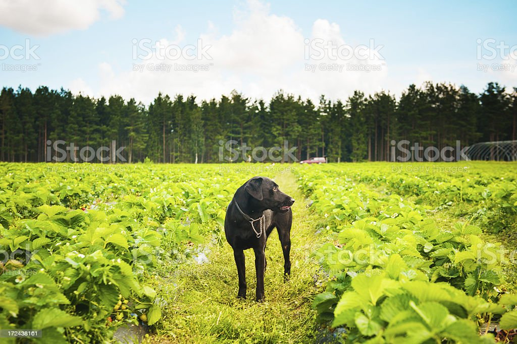 Strawberry field and dog royalty-free stock photo