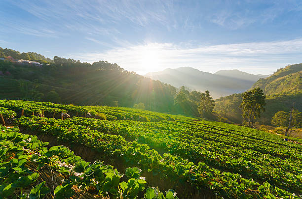 strawberry field and sunshine in morning at chiang mai thailand - organic farm stock photos and pictures
