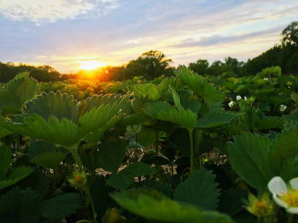 Strawberry field at sunset Strawberry field at sunset strawberry field stock pictures, royalty-free photos & images