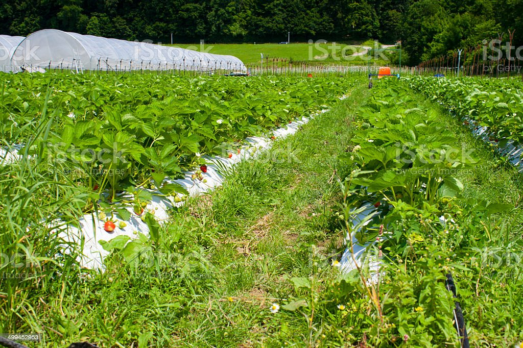 Strawberry field from a low angle stock photo