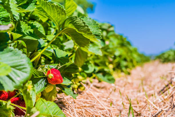Strawberry field. Garden-bed with some ripe fruit. Blue sky in background Strawberry field. Garden-bed with some ripe fruit. Blue sky in background. strawberry field stock pictures, royalty-free photos & images