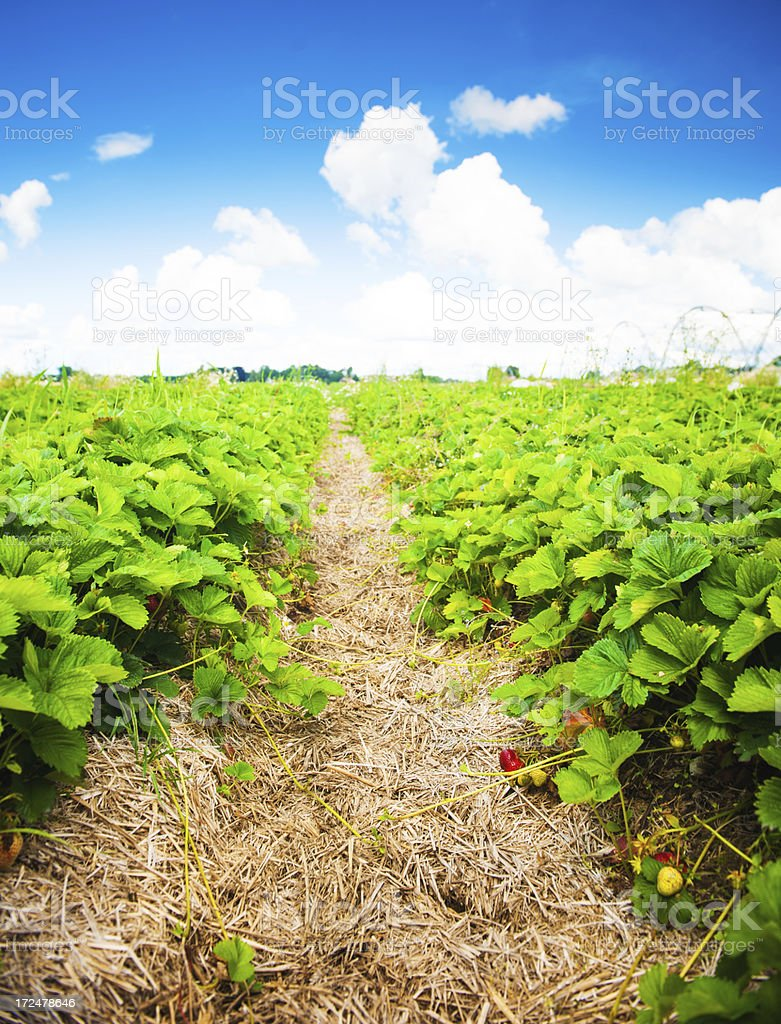 Strawberry field in early summer royalty-free stock photo
