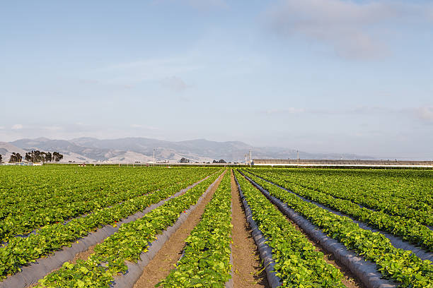 Strawberry Field in Salinas Valley, California. Strawberry Field in Salinas Valley, California. strawberry field stock pictures, royalty-free photos & images