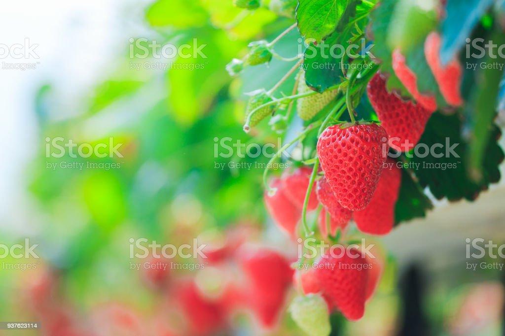 Strawberry field, no person stock photo