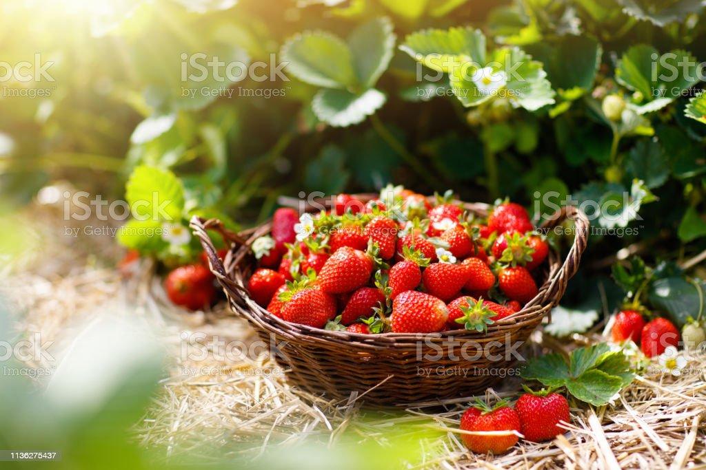 Erdbeerplatz auf Obstfarm. Berry im Korb. - Lizenzfrei Agrarbetrieb Stock-Foto