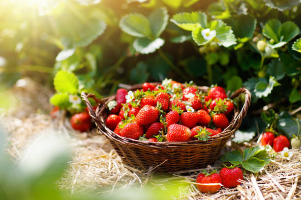 strawberry field on fruit farm. berry in basket. - fragole foto e immagini stock