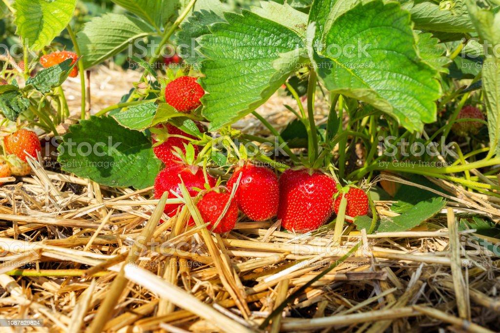 Erdbeerfeld – Foto